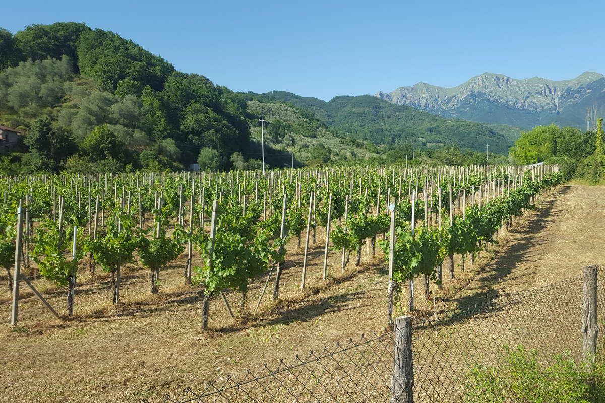 Vigneto Pinot Nero con viti di 40 anni - Podere Fedespina, Lunigiana Toscana